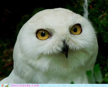 bird Owl smug snowy owl squee spree winner - 6488232448