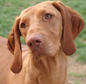 dogs,face off,goggie ob teh week,vizsla,winner