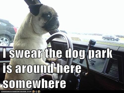 captions,car,directions,dog park,dogs,driving,lost,pug