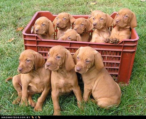 basket dogs goggie ob teh week puppy vizsla