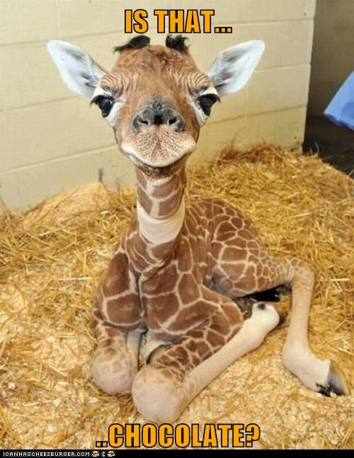 baby animals chocolate giraffes hungry what is that - 6488979456