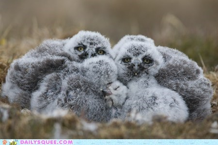 baby bird floof snowy owl squee spree - 6489019136