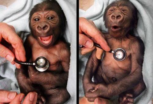 baby gorilla,morning fluff,yakini