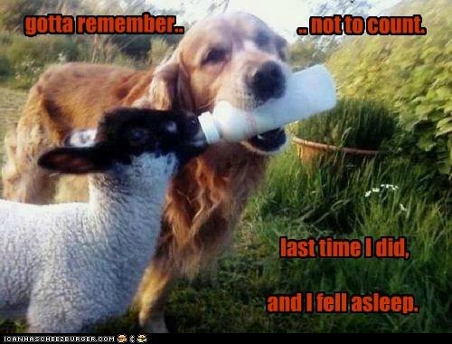 bottle bottle feeding dogs golden retriever lamb sheep - 6491338752