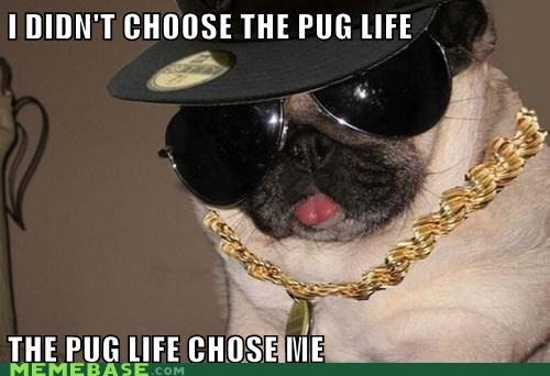 dogs pug life thug life - 6491753984