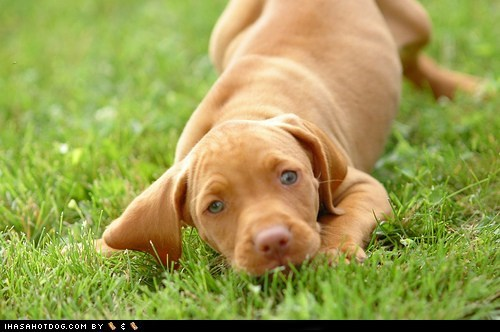 dogs goggie ob teh week play puppy vizsla - 6491757568