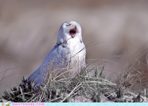 bird sleepy snowy owl squee spree yawning - 6491910400