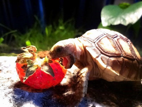 pet reader squee reptile strawberry tortoise - 6492630016