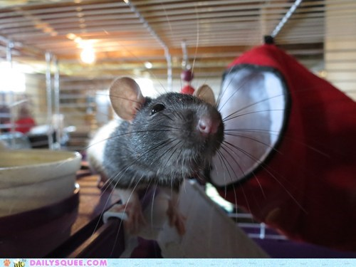 pet rat reader squee rodent whiskers - 6493382656