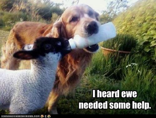 bottle,captions,dogs,ewe,golden retriever,helping,lamb,nursing,sheep