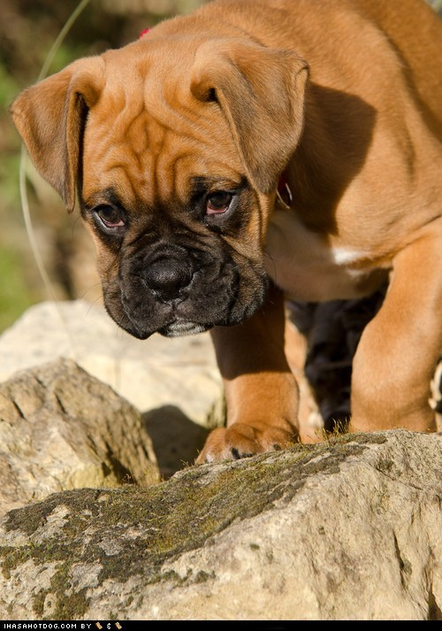 boxer cyoot puppy ob teh day dogs puppy wrinkles - 6494749952