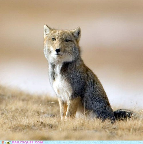 creepicute derp fox squee tibetan fox weird face - 6494959872