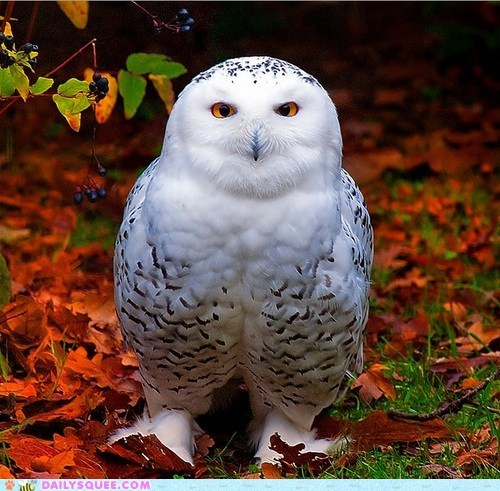 autumn beautiful bird snowy owl squee spree - 6494991360