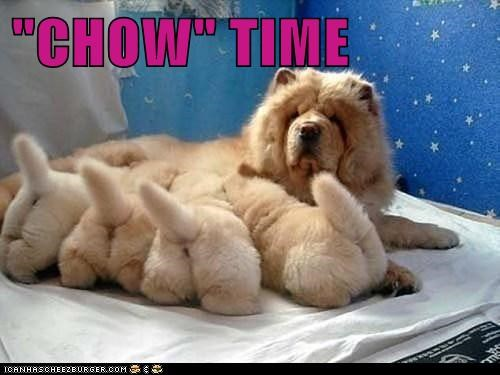 Babies chow chow dogs eating Fluffy mommy nursing puppies - 6496755200