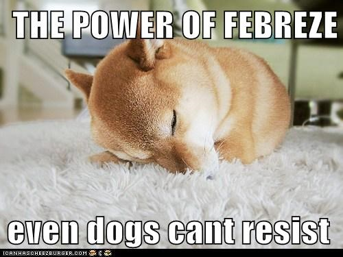 carpet dogs febreeze good smell nap attack shiba inu