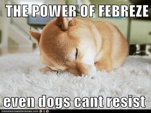 carpet nap attack shiba inu - 6496960256