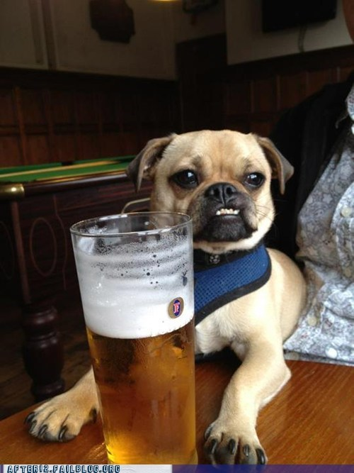 beer,crunk critters,dog drinking beer,fosters,pug,pug dog