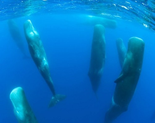 look at these snoozing wh,look at these snoozing whales,pod of sperm whales,sleeping whales,Sperm whales
