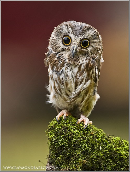 bird Owl big eyes squee branch feathers