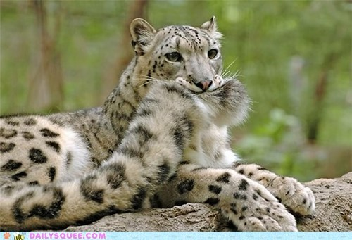 cat caught it chasing your tail Fluffy snow leopard squee tail
