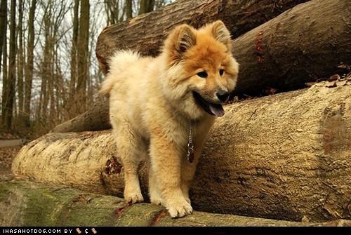 dogs eurasian eurasier face off goggie ob teh week - 6497886976
