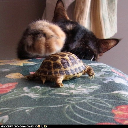 batting,Cats,cyoot kitteh of teh day,Interspecies Love,kitten,paws,tortoise,turtles