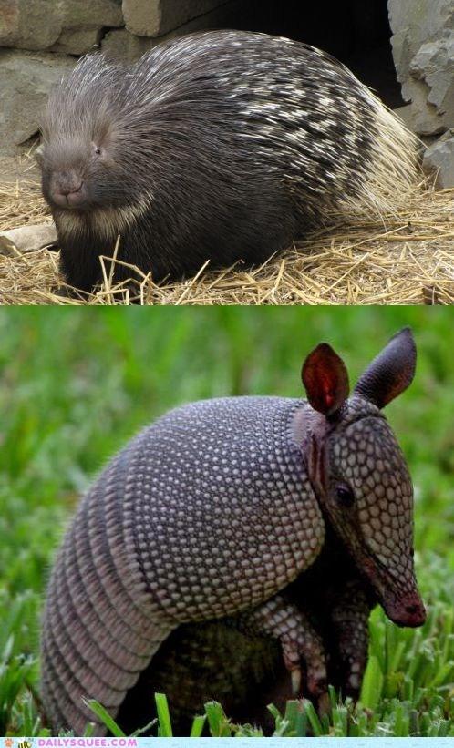 armadillos face off porcupine squee spree versus