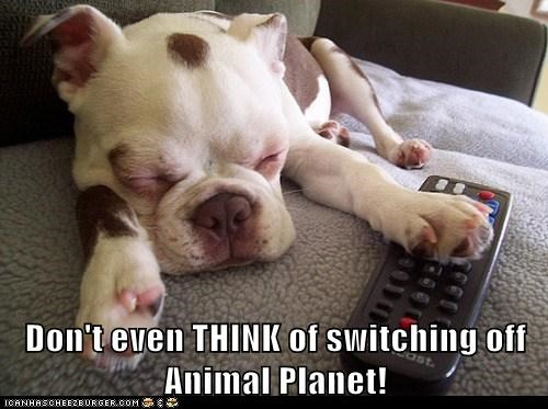 animal planet dogs french bulldogs napping remote control TV - 6498108672