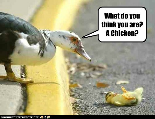 chicken,confused,cross the road,duckling,ducks,fall,joke,parent