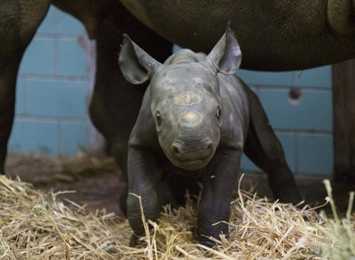 baby rhinoceros,omg-adorbz,The Land Before Time