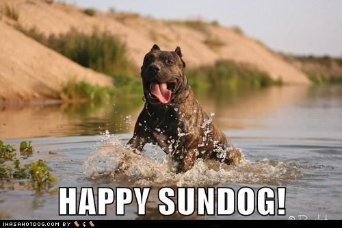 happy sundog playing smile Sundog tongue water what breed - 6500900352