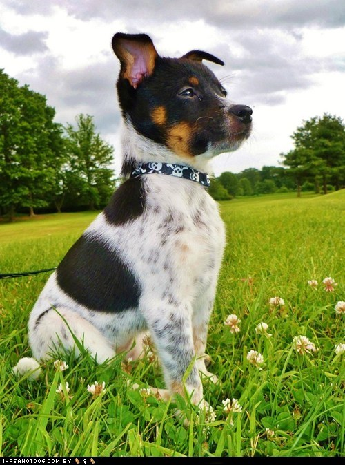 australian cattle dog cyoot puppy ob teh day dogs jack russell terrier mixed breeds puppy - 6500930048