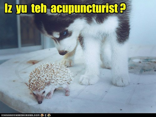 acupuncture,captions,dogs,hedgehog,huskie,husky,puppy,spines