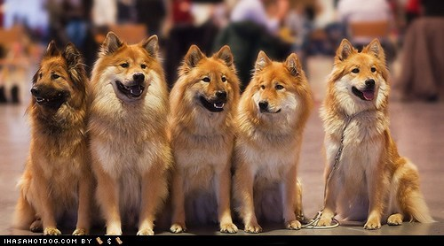 dogs eurasier goggie ob teh week group picture winner