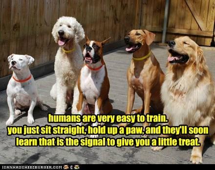 boxer dogs golden retriever poodle training your human treats - 6508088832