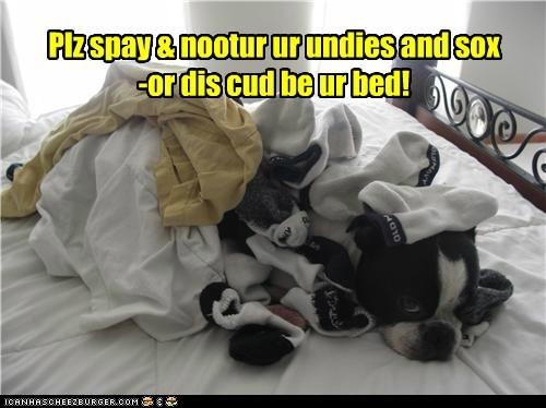 boston terrier laundry neutered psa socks underwear - 6508386304