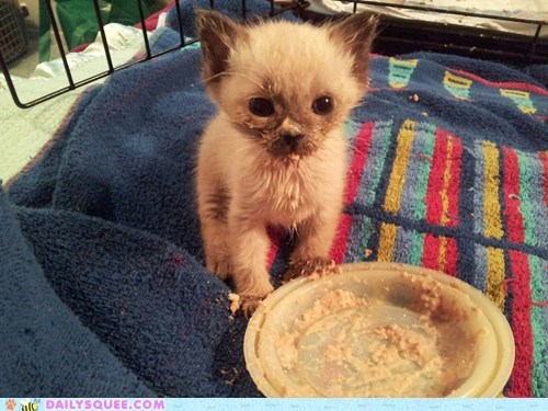 cat food eating food kitten messy pet reader squee