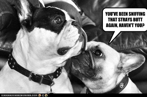 cheating dogs french bulldogs sniffing butts stray unfaithful - 6510159872