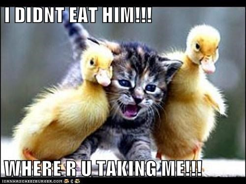 captions,Cats,ducklings,ducks,eat,revenge,take