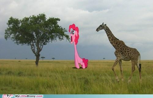 giraffes IRL kalahari pinkie pie - 6510809088