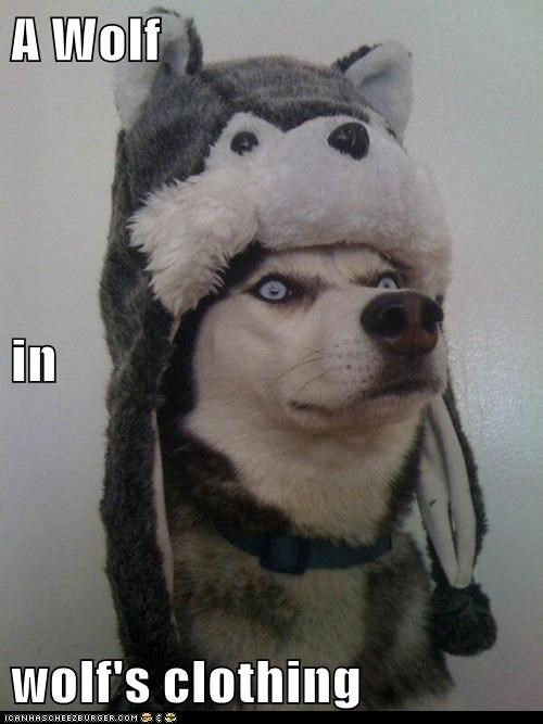 dogs,doing it wrong,hat,huskie,husky,wolf,wolf-in-sheeps-clothing