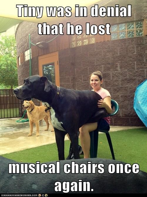 big dog denial dogs great dane musical chairs sitting on lap
