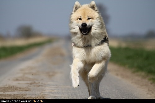 dogs eurasier Fluffy goggie ob teh week jumping - 6511444992