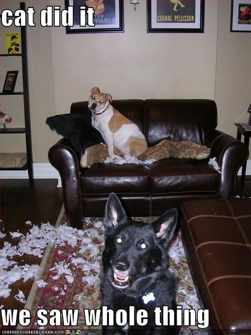 german shepherd indoors mess pitbull whatbreed - 651145472