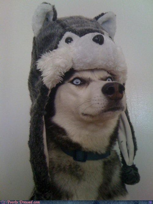 dogs hat husky Inception pet - 6511952384