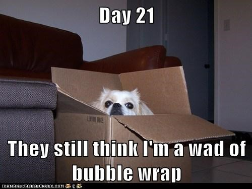 bubble wrap,camouflage,cardboard box,dogs,shih tzu