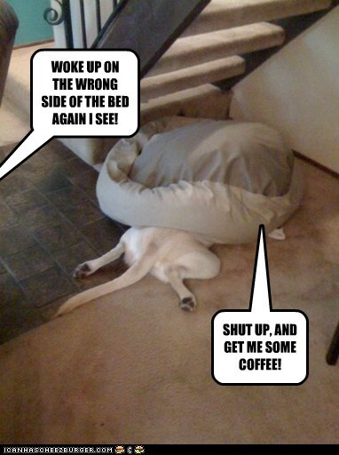 coffee,dog bed,dogs,grumpy,lab,labs,mondays,not a morning person,silly,wrong side of the bed