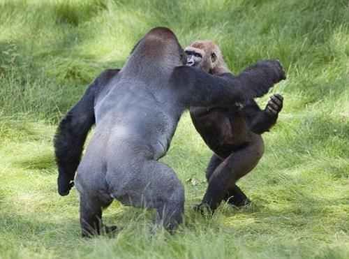 gorilla brothers,Heartwarming Tearjerker,reunited gorillas
