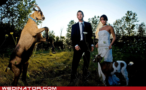 animals,bride,funny wedding photos,goats,groom