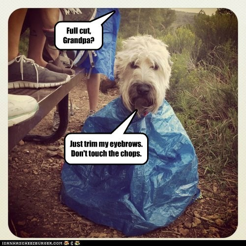 dogs,eyebrows,Grandpa,haircut,shaggy,sheepdog,tarp